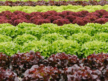 Lettuces. Royalty Free Stock Image