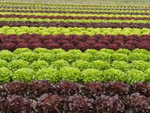 Lettuces rows Royalty Free Stock Photos