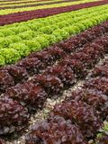 Lettuces rows Stock Image