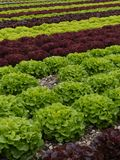 Lettuces rows Stock Photography