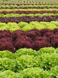 Lettuces rows Stock Photo