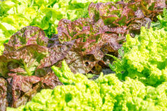 Lettuces of varieties Wonder of the four seasons. Stock Photos