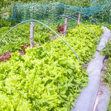 Lettuces in an vegetable garden. Royalty Free Stock Photography