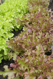 Letucce que crece en casa verde Fotos de archivo libres de regalías