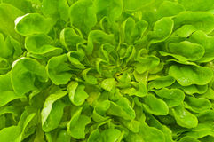 Letuce flower Royalty Free Stock Photography