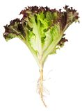 Letuce with roots Stock Images