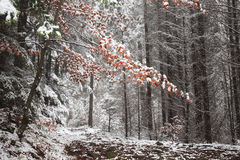 Letzte Rotblätter bedeckt im Schnee Stockfotografie