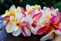 Leu tropicaux blancs et roses de plumeria Image stock