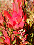 Leucadendron Fotografía de archivo