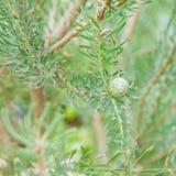 Leucadendron galpinii Royalty Free Stock Photography