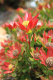Leucadendron shrub flowering in the garden Stock Photos