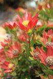 Leucadendron shrub flowering in the garden Stock Photos