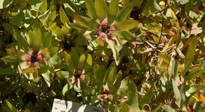 Leucadendron tinctum, Spicy conebush Stock Images