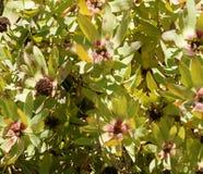 Leucadendron tinctum, Spicy conebush Royalty Free Stock Image