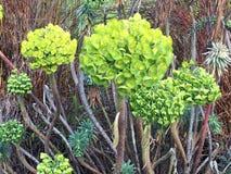 Leucadendroncorynbosum eller det gemensamma Afrikaansnamnet, Swartlands Royaltyfria Foton