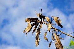 Free Leucaena Glauca Seeds In Nature Garden Royalty Free Stock Photo - 109273225