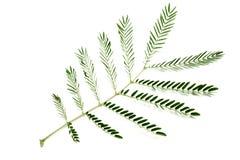 Leucaena légume, de pennata de Senegalia ou d'acacia local thaïlandais ou isolat de langue thaïlandaise de Cha-OM sur le fond bla images libres de droits