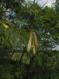Leucaena leucocephala. Royalty Free Stock Photos