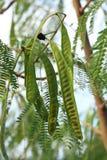 Leucaena Leucocephala or Herbal Ipil Ipil Bean [Leucaena Leucocepphala (Lam. ) de Wit]. Leucaena Leucocephala or Herbal Ipil Ipil Bean, [Leucaena Leucocepphala stock photography