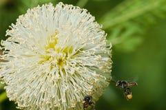 Leucaena leucocephala (Lamk.) de Wit flower blossom Stock Photography