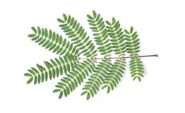Leucaena leucocephala is a small fast-growing mimosoid tree royalty free stock image