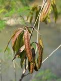 Leucaena leucocephala Stock Image