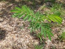 Leucaena leucocephala tree Stock Image