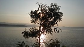 Leucaena Leucocephala Tree Silhouette in front of Sunset on Koh Samui Island in Thailand. Royalty Free Stock Images