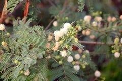 Leucaena leucocephala, White popinac, River tamarind Royalty Free Stock Images