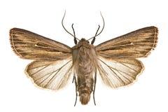 Leucania comma. Moth Shoulder-striped Wainscot (Leucania comma Stock Images