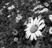 Leucantemum superbum stokrotka w czarny i biały obrazy royalty free