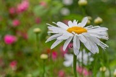 Leucanthemum最大值(大滨菊、最大菊花、疯狂的雏菊、菊花字轮、雏菊链环、chamomel,帮会轰隆)在庭院里我 免版税库存图片
