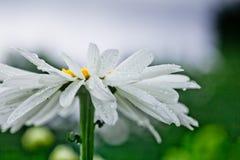 Leucanthemum最大大滨菊,最大菊花,疯狂的雏菊,菊花字轮,雏菊链环, chamomel,帮会轰隆在庭院里 库存图片