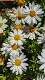 Leucanthemum × superbum or Shasta daisy is a commonly grown flowering herbaceous perennial plant with the classic daisy appearan stock photos
