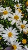 Leucanthemum Ã- superbum或大滨菊是有经典雏菊appearan的一棵共同地增长的开花的草本四季不断的植物 免版税库存照片