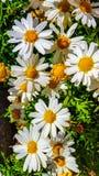 Leucanthemum Ã- superbum或大滨菊是有经典雏菊appearan的一棵共同地增长的开花的草本四季不断的植物 免版税图库摄影