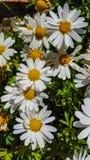 Leucanthemum Ã- superbum或大滨菊是有经典雏菊appearan的一棵共同地增长的开花的草本四季不断的植物 库存照片