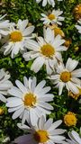 Leucanthemum × superbum or Shasta daisy is a commonly grown flowering herbaceous perennial plant with the classic daisy appearan Royalty Free Stock Photo