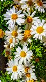 Leucanthemum × superbum or Shasta daisy is a commonly grown flowering herbaceous perennial plant with the classic daisy appearan Royalty Free Stock Photography