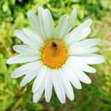 Leucanthemum με λίγη μύγα Στοκ φωτογραφία με δικαίωμα ελεύθερης χρήσης