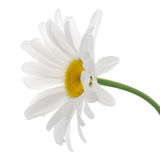Leucanthemum Stock Photos