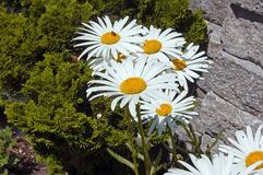 Leucanthemum Stock Photo