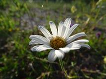 Leucanthemum Fotos de Stock
