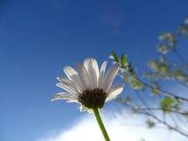 Leucanthemum Imagem de Stock Royalty Free