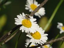 Leucanthemum Imagens de Stock Royalty Free