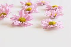 Leucanthemum cor-de-rosa fresco maravilhoso isolado no fundo branco Há um lugar para seu texto Fotos de Stock