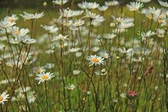 Leucanthemum de los daisys del ojo de buey Fotografía de archivo libre de regalías