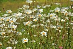 Leucanthemum de los daisys del ojo de buey Fotos de archivo