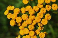 Leucanthemum - detail Royalty Free Stock Photography