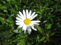 Leucanthemum en el prado Fotografía de archivo libre de regalías